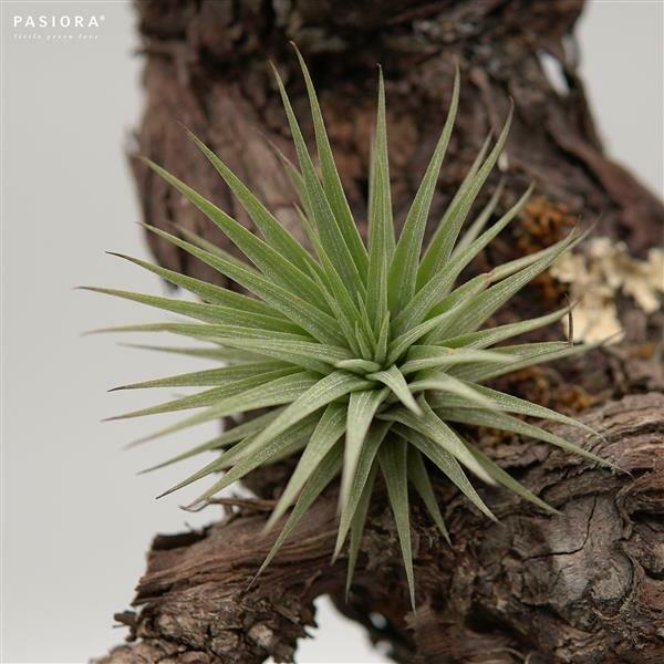 Tillandsia espinosae