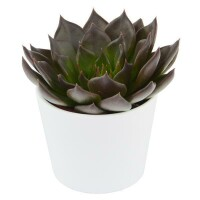 Echeveria Black Prince - 6cm