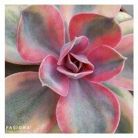 Echeveria Rainbow - 10,5cm