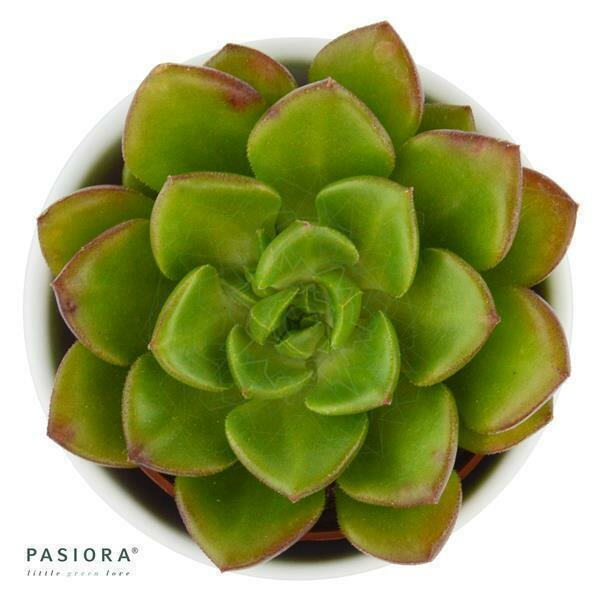 Echeveria Galaxy Saturn
