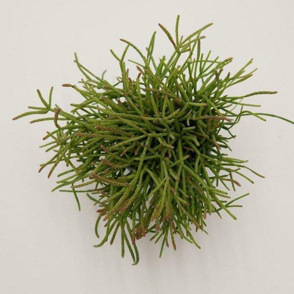 Rhipsalis cassutha - 6cm
