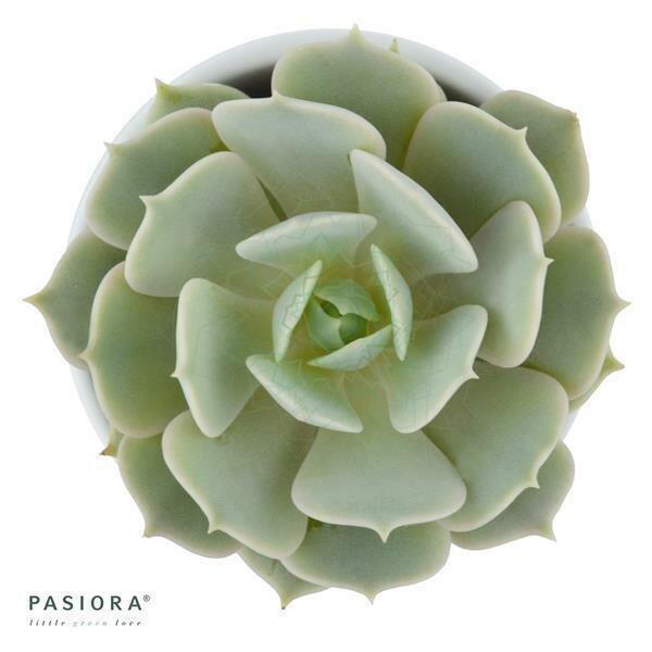 Echeveria Lola - 5,5cm