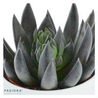 Echeveria affinis - 6cm