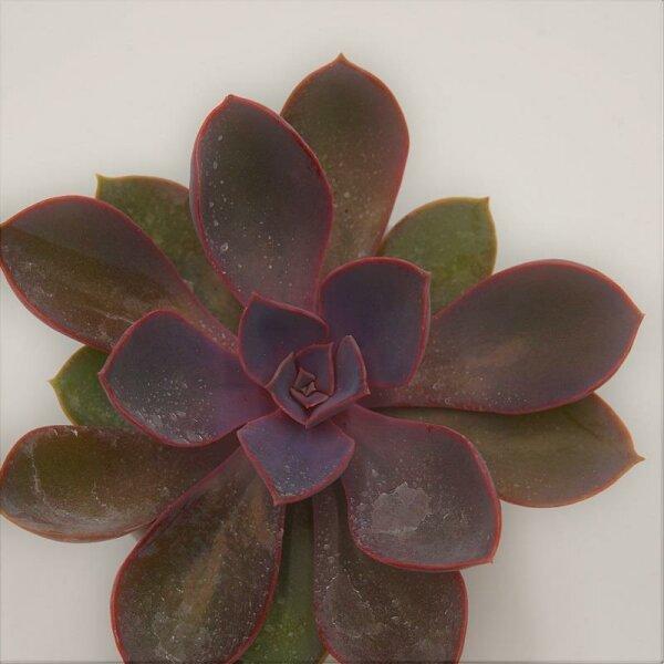 Echeveria Purple Pearl - 6cm