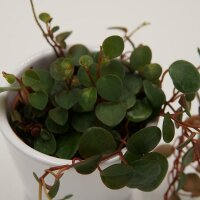 Peperomia Pepperspot - 6cm