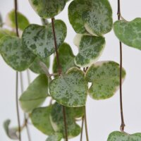 Ceropegia woodii f. variegata - 8cm