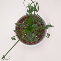 Albuca spiralis Fizzle Sizzle - 12cm