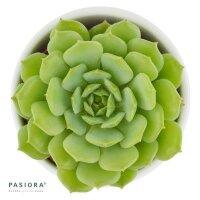 Echeveria derenbergii x derosa- 6cm