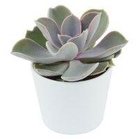 Echeveria Perle von Nürnberg - 6cm