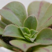 Aeonium leucoblepharum - 6cm