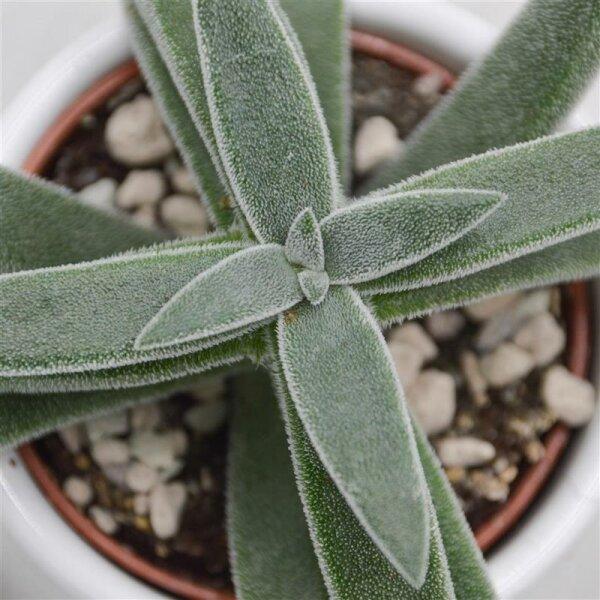 Crassula mesembryanthemoides Tenelli - 6cm