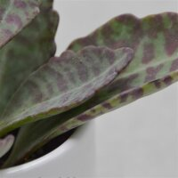 Kalanchoe humilis Desert Surprise - 6cm
