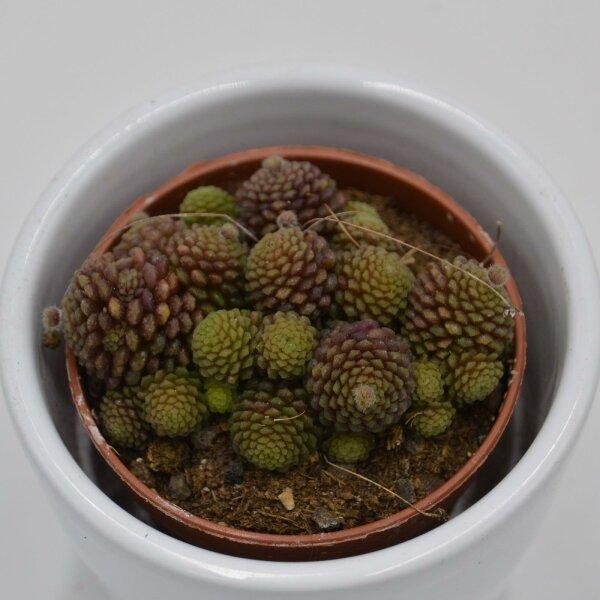 Monanthes polyphylla - 5,5cm