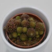 Monanthes polyphylla - 6cm