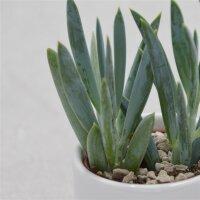 Senecio ficoides - 6cm