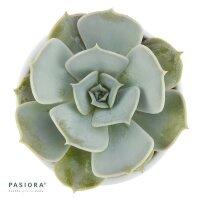 Echeveria lilacina - 6cm