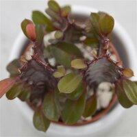 Euphorbia trigona Rubra - 5,5cm
