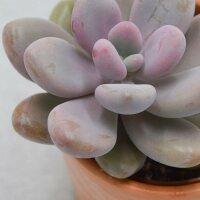 Pachyphytum oviferum Pink Moonstones - 6cm