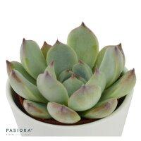 Echeveria Parva (US) - 6cm
