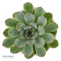 Echeveria pulidonis - 6cm