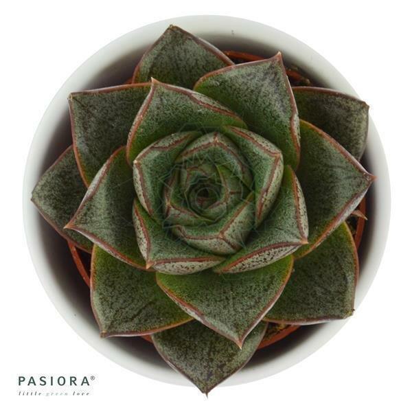 Echeveria purpusorum Dionysos - 6cm