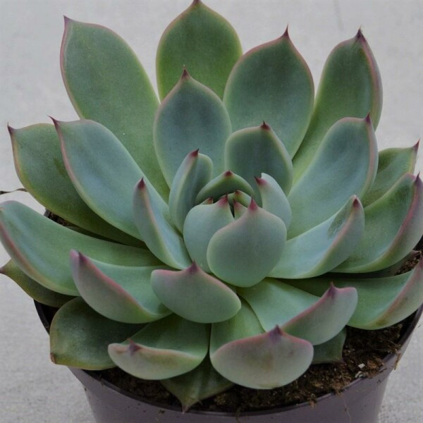 Echeveria Parva (US) - 10,5cm