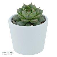 Echeveria Fabiola - 6cm