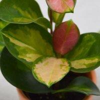 Hoya australis Lisa - 6cm