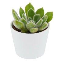 Echeveria setosa - 6cm