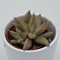 Echeveria tolimanensis - 5,5cm