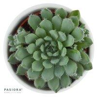 Echeveria setosa var. minor - 5,5cm