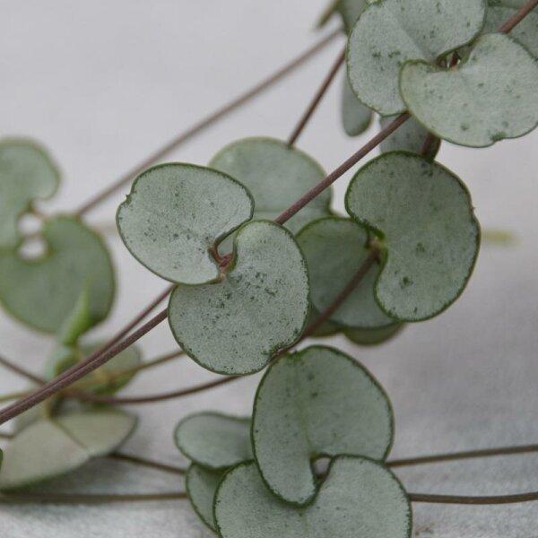 Ceropegia woodii Silver Glory - 8cm