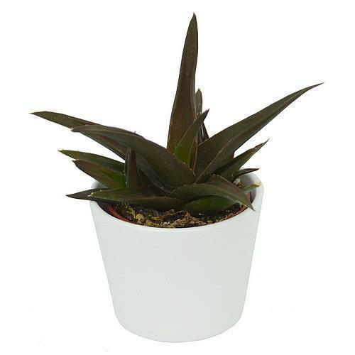 Aloe Black Gem