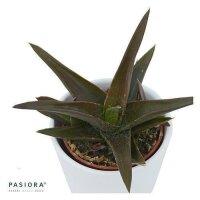 Aloe Black Gem - 6cm