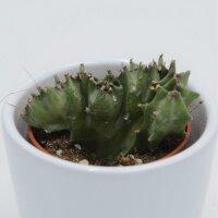 Euphorbia lactea f. cristata - 5,5cm
