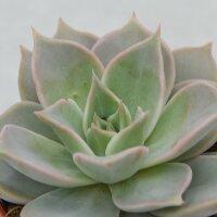 Echeveria Madiba - 8,5cm