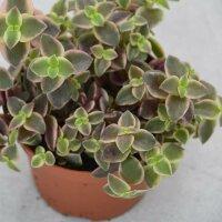 Crassula pellucida ssp. marginalis - 8,5cm