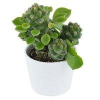 Euphorbia ritchiei - 6cm