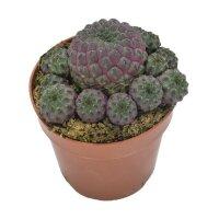 Sulcorebutia rauschii Violet - 10,5cm