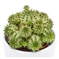 Euphorbia susannae - 5,5cm