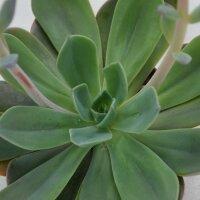 Echeveria Blue Prince - 10,5cm