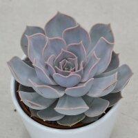 Echeveria lilacina - 10,5cm
