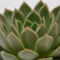 Echeveria Mira - 10,5cm