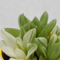 Haworthia cymbiformis variegata - 8,5cm