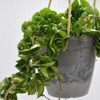 Hoya compacta im Übertopf - 15cm