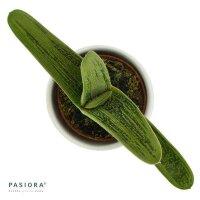 Gasteria Dragon Skin - 6cm