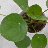 Pilea peperomioides - 6cm
