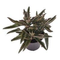 Kalanchoe daigremontiana - 12cm