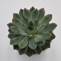 Echeveria pulidonis - 12cm