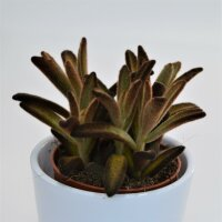 Kalanchoe tomentosa Chocolate Soldier - 9cm